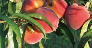 En quelques clics, Covarfel permet de comparer les variétés de pêche et nectarine. Photo : Fotolia
