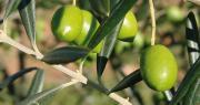 Le ministère de l'Agriculture vient de présenter un certain nombre de mesures destinées à accompagner, à court et moyen terme, le secteur oléicole français.