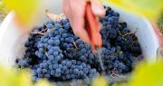 L'AOP raisin de table, après des années d'échanges avec l'UMT Géno-Vigne®, a pu observer sous serre et en plein champ les premières vignes sélectionnées pour leur résistance au mildiou et à l'oïdium. Photo: L. Theeten / Pixel Image.