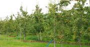 Le plan d'aide à la rénovation des vergers vise à adaptater les exploitations fruitières au marché et à améliorer la compétitivité de la production française.