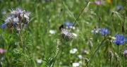 Lorsque l'on réussit à mettre en place un garde-manger pour abeilles, comme par exemple une jachère apicole, le bénéfice pour les abeilles est immédiat.