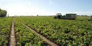 Les surfaces françaises de melon devraient avoisiner cette année les 14 000 ha.