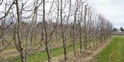 Dans l'essai mené à La Tapy, le mur fruitier de cerisier est formé au départ en bi-axe puis est rogné mécaniquement à la barre de coupe.