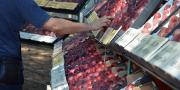 Présentation variétale en pêche, nectarine et abricot ce mardi à la station Serfel, dans le Gard.