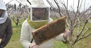 Après un bilan des besoins en pollinisation sur abricot et cerise, apiculteurs et arboriculteurs se sont rendus dans le verger de la Serfel.
