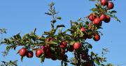 """""""La Story® est une pomme propre, sans défaut d'épiderme et peu sensible aux coups"""", précise Jean-Michel Montagnon, technicien de La Pugère."""