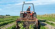 Les récoltes des premières pommes de terre primeurs de Noirmoutier ont débuté. Photo : DR