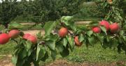Malgré des volumes en recul, les producteurs d'abricots français espèrent pouvoir miser sur la qualité organoleptique de leurs fruits. Photos : AOP Pêches et Abricots de France