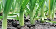 La sécheresse estivale en début de campagne a affecté les rendements à l'automne, notamment avec des calibres qui ont peiné à se développer. Photo : beerfan/Adobe Stock