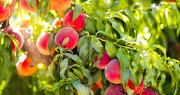 "Adobe : 145804385 - Les surfaces de vergers de fruits à noyau converties en bio ""explosent"", affirme l'Agence Bio. Photo : famveldman/Adobe stock"
