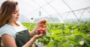 Sur Camp'Num, une courte vidéo interactive de trois minutes est dédiée aux consignes de récolte des fraises. Photo : Bondvit/Adobe stock
