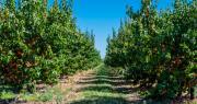 Les producteurs d'abricots de France qui ont acheté des masques pour protéger leurs salariés en ont offert une partie à des personnels soignants. CP : Bernard Girardin/Adobe Stock