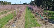 Si pour l'instant, les bonnes conditions hivernales et de floraison laissent présager une belle récolte, le risque de gel est toujours à craindre. Photo heledevun/Adobe Stock