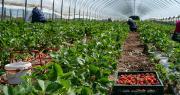En italie, la pénurie de main-d'œuvre liée à l'épidémie de coronavirus pourrait engendrer une perte de 25% de la production agricole, selon la Coldiretti. Photo : Pavel/Adobe stock