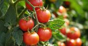 Les spécialités Cuprocol Duo® et Taegro® permettent de renforcer la protection de nombreux légumes et arbres fruitiers. Elles seront commercialisées début 2020. Photo : Daniel Ernst/Adobe Stock