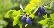 Andermatt France recommande d'utiliser Curatio® sur prune contre la rouille, coryneum et polystigma. Photo : Encierro/Adobe stock