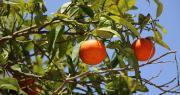 Pour récolter 20 000 à 30 000 tonnes de clémentines corses, 5 vols en provenance du Maroc vont être mis en place, financés par les agriculteurs corses. Photo : claranila/adobe stock
