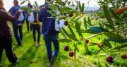Toutes les séances d'information et de démonstration sur l'oléiculture sont, sauf précision spécifiée, ouvertes à tous avec entrée libre et gratuite. Photo : Marsviolte/Adobe stock