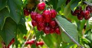 La cerise étant un fruit particulièrement sensible, les estimations précoces de production peuvent rapidement évoluer suivant les éventuels événements climatiques ou sanitaires qui se produiraient d'ici la récolte. Photo : JackF/Adobe stock