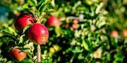 Les ventes de produits de biocontrôle en arboriculture fruitière boostent le chiffre d'affaires d'Adermatt France. Photo : Paul Fauchille/Adobe stock