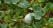 Pour cette campagne 2020, les surfaces de melon évoluent à la baisse dans toutes les zones de production, le recul le plus important étant observé en France (-8%). CP : gabe9000c/Adobe Stock