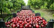 Pour limiter tout risque de transmission du Covid-19 entre le personnel, il est essentiel d'anticiper en organisant le travail dans les exploitations arboricoles. Photo : Adil/Adobe stock