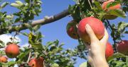Les premières estimations publiées par Agreste restent provisoires, l'ampleur de la baisse étant susceptible d'évoluer selon le calibre final des fruits à la récolte. Photo : smoke/Adobe Stock