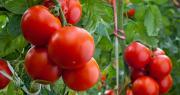 Les tomates produites par les adhérents de la coopérative Solarenn sont désormais toutes certifiées HVE. Photo : Dusan Kostic/Adobe Stock