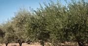 """Deux oliviers ont été infectés par la bacterie """"Xylella fastidiosa"""" en région Paca. Photo : pixarno/Adobe Stock"""