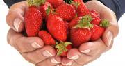 Pour encourager les soignants et témoigner leur gratitude, le Paysans de Rougeline ont offert 8000 barquettes de fraises à des établissements de santé du Sud-Ouest. Photo : Richard Villalon/Adobe stock