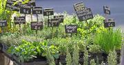Désormais, les plants aromatiques sont autorisés à la vente en Corrèze, malgré les mesures de confinement. Photo : illustrez-vous/Adobe stock