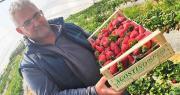 Pour Agostino Oliveta, la fraise Flavia* présente un bon rendement . Photo : CIV