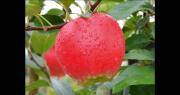 La nouvelle variété précoce de pomme HC2-1 a été mise au point par l'obtenteur IFO. Photo : IFO