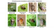 Le GIS Fruits propose des fiches pratiques simplifiées pour reconnaître les punaises. Photo : Gis Fruits.