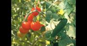 Les producteurs de Tomates et concombres de France ouvrent leurs serres au public du 23 au 26 mai. Photo : Interfel