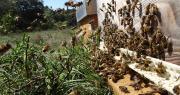 """Face à la situation """"alarmante"""" des abeilles, 135 élus veulent une application stricte de l'interdiction des néonicotinoïdes. Photo : unaf/christel bonnafoux"""