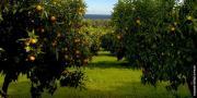 Les récoltes de clémentines de Corse, interrompues par le mouvement des Gilets jaunes, ont finalement pu reprendre sans conséquences pour la campagne en cours. Photo : Clémentine de Corse