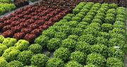 Le développement de résistances contre le mildiou est l'un des piliers du programme de sélection laitue de Rijk Zwaan. Photo Rijk Zwaan