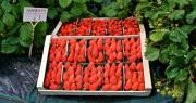 Côteaux Nantais va distribuer huit à douze tonnes de fraises 100 % françaises et de premier choix en magasins bio. CP : DR