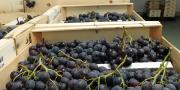 La Journée raisin de table aura lieu le jeudi 21 janvier 2016 à Mazan (84).