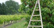 Pour la première fois, une journée commune au raisin de table et à la cerise sera organisée par leurs AOP nationales. Photo : C.Even/Pixel6TM