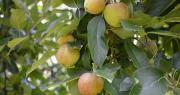 La récolte de pommes 2019 s'annonce satisfaisante tant au niveau de la qualité que de la quantité. Une opportunité quand les récoltes européennes devraient afficher des chiffres à la baisse. Photo : B.Bosi/Media&Agriculture