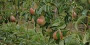 Parmi les sujets abordés le 4 février 2016 pour la journée Agro Bio Rhône-Alpes: la sensibilité variétale tavelure du poirier.