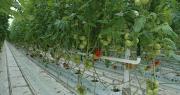 """Prince de Bretagne, Savéol et Solarenn pèsent 50% de la production de tomates en France. Leur objectif est que 30 à 40% de cette production porte à terme les couleurs du nouveau label """" Cultivées sans pesticides"""". Photo : DR"""