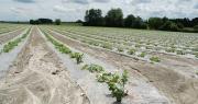 L'entreprise Val de Sérigny lance la commercialisation de ses melons avec mention « cultivé sans pesticides de synthèse ». Photo : O.Lévêque/Pixel6TM