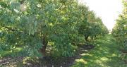 L'Anses préconise de ne plus traiter 60% de la surface des vergers, en ne maintenant le glyphosate que sur le rang de plantation. Photo : O.Lévêque/Pixel6TM