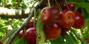 Au cours de son évolution, Drosophila suzukii est devenue plus sensible aux odeurs et aux goûts des fruits mûrs qu'à ceux des fruits fermentés.