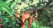 Le feu bactérien touche particulièrement les poiriers. Photo : Inra - JP. Paulin