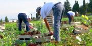 Le coût de la main-d'œuvre, déjà plus élevé en France qu'ailleurs, pourrait encore augmenter, selon Légumes de France. © Philippe Leridon/Fotolia