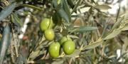 Le service communication de l'Afidol multiplie en effet les actions pour développer la notoriété des huiles d'olive au niveau national.
